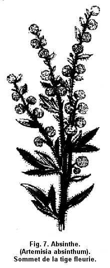 Fig. 7. Absinthe. (Artemisia absinthum). Sommet de la tige fleurie.