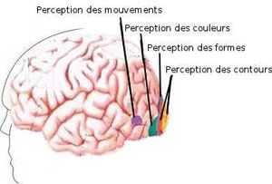 Les aires visuelles sont spécialisées dans la perception du contour, de la forme, de la couleur et du mouvement.