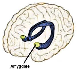 L'amygdale cérébrale.