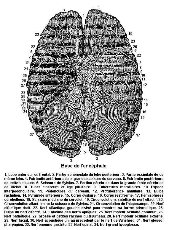 Base de l'encéphale (représentation datant de 1886).