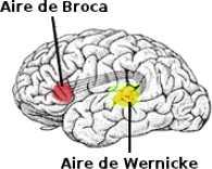 Les deux principales aires du langage dans le cerveau: l'aire de Broca et l'aire de Wernicke.