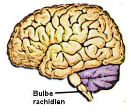 Le bulbe rachidien au niveau du tronc cérébral.