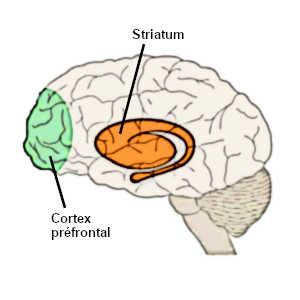 La connexion entre le cortex préfrontal et le striatum n'est pas encore opérationnelle chez les adolescents qui privilégient alors les activités procurant un plaisir immédiat.