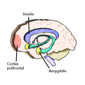 Le stress et l'anxiété perturbent l'activité des régions du cerveau impliquées dans la prise de décision, à savoir : l'amygdale, l'insula et le cortex préfrontal.