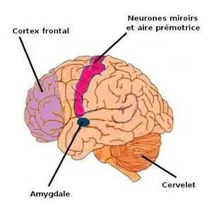 Le spectre autistique une organisation c r brale for Neurone miroir autisme