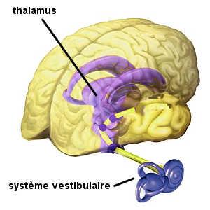 Le phénomène de l'endormissement par le bercement fait intervenir le système vestibulaire et le thalamus. le résultat de leurs interactions correspond à la propagation d'ondes lentes dans le cerveau qui bascule alors directement dans le stade II du sommeil.