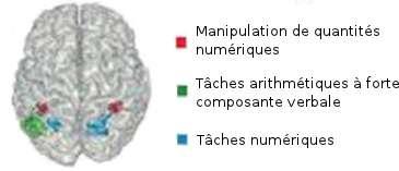 Certaines régions du lobe pariétal s'activent selon le type de tâche arithmétique.