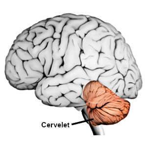 Le cervelet est une structure complexe qui remplit de nombreuses fonctions motrices, cognitives et émotionnelles.