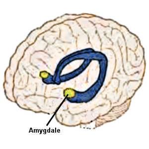L'amygdale cérébrale (une région du cerveau spécialisée dans la peur et la détection du danger) s'avère particulièrement sensible au cri humain.