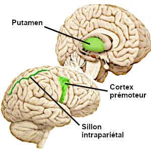 La distance personnelle est calculée par certaines régions cérébrales, notamment le cortex moteur, le putamen et le sillon intrapariétal.
