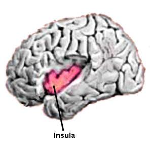 L'insula est une aire cérébrale inactive ou peu active chez les personnalités borderline.