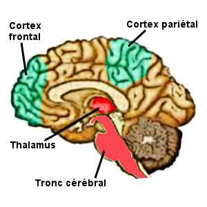 Les zones du cerveau impliquées dans l'épilepsie sont principalement les aires corticales associatives frontales et pariétales, ainsi que le tronc cérébral et le thalamus.