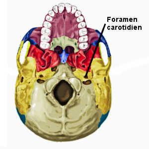 La taille du foramen dans la base du crâne a permis aux paléontologue de mesurer l'évolution du débit sanguin dans le cerveau au cours des millénaires.