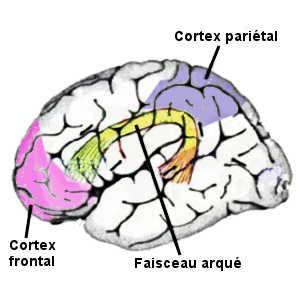 Les génies présentent un fonctionnement différent de leur cerveau au niveau du faisceau arqué qui fait le lien entre le lobe pariétal et le lobe frontal.