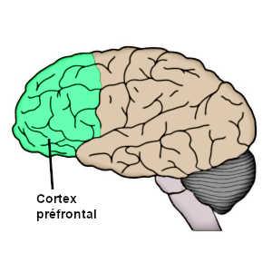 Le cortex préfrontal permet de lutter contre notre inclination pour l'inactivité.