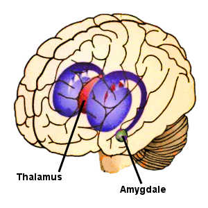 Une inflammation du thalamus provoque un sentiment de faiblesse et de torpeur, tandis qu'une inflammation de l'amygdale génère des difficultés à se concentrer et à réfléchir.