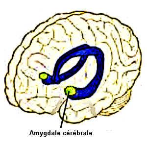 L'amygdale cérébrale des personnes ayant subi des violences répétées tend à se déconnecter du cortex cérébral, ce qui provoque une anesthésie émotionnelle.