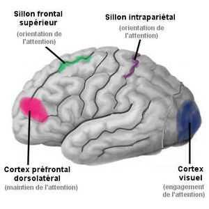 Méditer permet d'accroître a concentration et de mieux réguler ses émotions. D'ailleurs, des IRM le prouvent.
