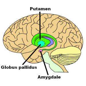 La perception d'un visage méprisant active des aires du cerveau impliquées dans la colère et la peur. Il s'agit de l'amygdale, du globus palludus et du putamen.