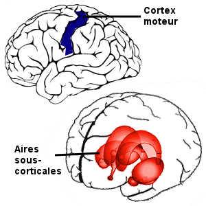 Deux voies nerveuses sous-tendent les micro-expressions: le cortex moteur et les aires sous-corticales.