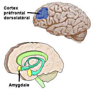 Le cortex préfrontal dorsolatéral serait le siège de la conscience morale.