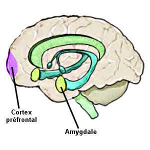 L'amygdale et le cortex préfrontal sont des zones du cerveau particulièrement actives chez les seniors optimistes et heureux.