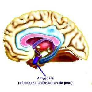 L'amygdale cérébrale est la zone du cerveau responsable de la sensation de peur.
