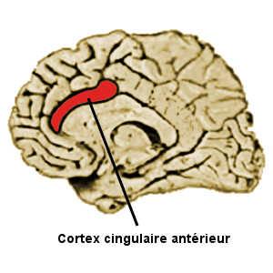 L'activité du cortex cingulaire antérieur permet de prédire les récidives de certains criminels.