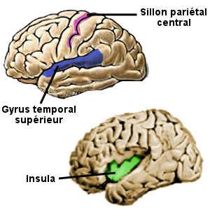 Lire un roman agit sur les aires sensori-motrices du cerveau, et notamment la sillon pariétal central, l'insula et le gyrus temporal supérieur.