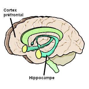 Une communication dégradée entre l'hippocampe cérébrale et le cortex préfrontal semble être à l'origine des symptômes de la schizophrénie.