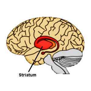 Le striatum est une zone du cerveau impliquée dans le circuit du plaisir, et les comportements généreux des femmes activent cette zone.