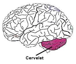 Le cervelet est situé à l'arrière du tronc cérébral, sous les hémisphères.