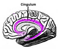 Le cingulum dans le cerveau.