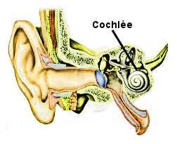 La cochlée dans l'oreille interne.