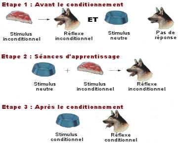 Les étapes du conditionnement répondant mis, en évidence par Pavlov en étudiant la salivation des chiens.