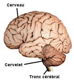 L'encéphale est composé du cerveau, du cervelet et du tronc cérébral.