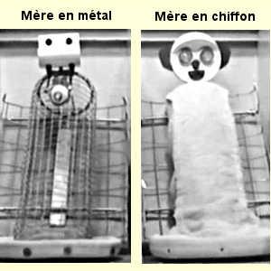 L'expérience de Harlow a consisté à isoler des macaques nouveau-nés et à leur proposer deux types de mère de substitution: soit une mère métallique, soit une mère en chiffon.