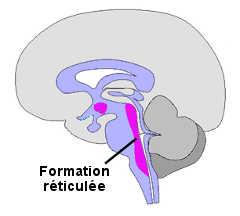 La formation réticulée au niveau du tronc cérébral.