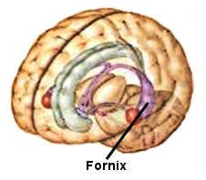 Le fornix est situé au centre du cerveau.