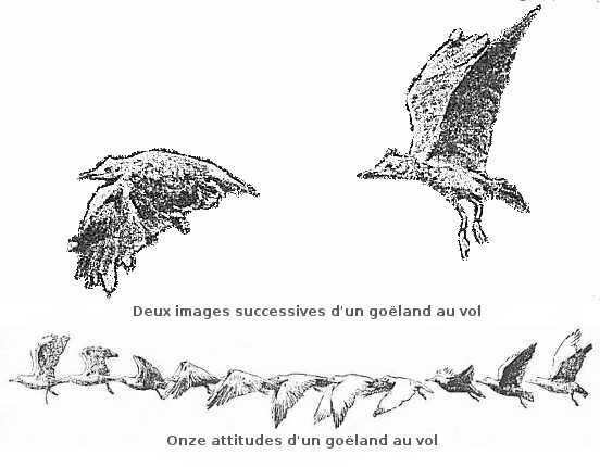 Attitudes d'un goëland au vol.