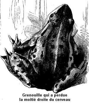Grenouille qui a perdu la moitié droite du cerveau.