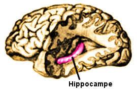 L'hippocampe cérébrale.