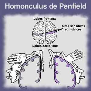 L'homoncule de Penfield représente les zones du corps pourvues de récepteurs sensitifs.Plus la partie du corps en contient, plus sa zone corticale est étendue.