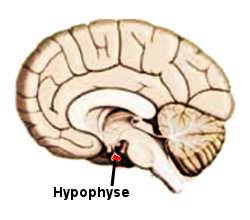 L'hypophyse au niveau du cerveau.