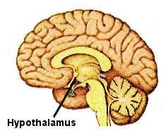 L'hypothalamus au niveau du cerveau.