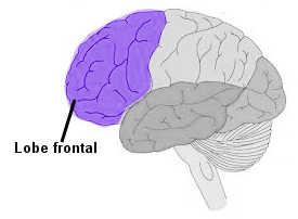 Le lobe frontal.