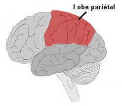 Le lobe pariétal.