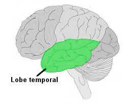 Le lobe temporal.