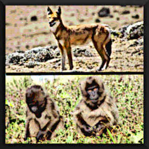 En Ethiopie, les loups et les géladas (une espèce proche des babouins) cohabitent pacifiquement, alors que ces singes sont pourtant des proies potentielles pour les loups.