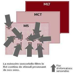 La mémoire sensorielle filtre le flux continu de stimuli externes qui bombardent nos sens.